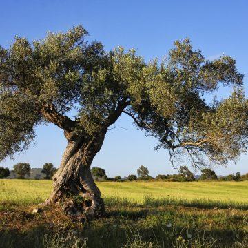 ¿Qué árbol representa a Libra según los Celtas?